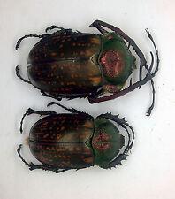 Cheirotonus peracanus (Pair) - Genting Highlands, Malaysa (GP62)