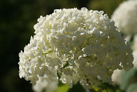 Annabelle Hydrangea - Hardy Established Rooted Shrub - 1 Plant in 1 Gallon Pot