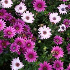 African Daisy Seeds Osteospermum Ecklonis Mix 50 Seeds ( Perennial Seeds )