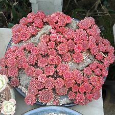 Rare And New Succulent Sedeveria Pink Ruby Single Rosset