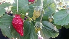 Strawberry Baron Solemacher 100 seeds fruit  vegetable garden