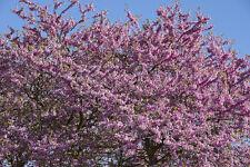 CERCIS SILIQUASTRUM (albero di Giuda) - 30 semi. Fioritura Albero & GRANDE PER BONSAI