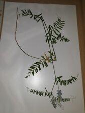 Wicken (Vicia), gepresste Pflanzen für Herbarium, Schmetterlingsblütler