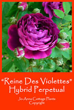 REINE DES VIOLETTES HIGHLY SCENTED OLD ROSE CONTIUAL BARE ROOT ** 4 FOR 3 **