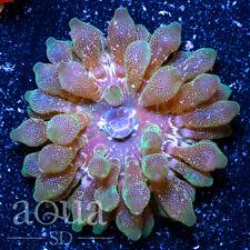 New listing Asd - 077 Concrete Jungle Bubble Anemone - Wysiwyg - Aqua Sd Live Coral Frag