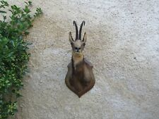 Beautiful taxidermy of chamois medal sylver French