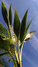 Coconut Palm Tree 5' (TWO PACK)  (Lic. to ship to ALL cont. USA exc TX)
