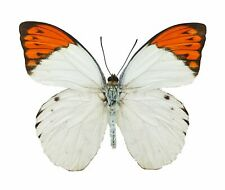 Real Hebomoia glaucippe, Great Orange Tip Butterfly A1, unmounted