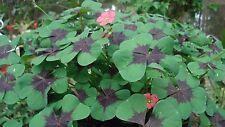 Oxalis tetraphylla syn deepei