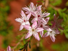 Calytrix tetragona pink form in 75mm supergro tube native plant