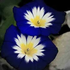 MORNING GLORY MIX TRICOLOR DWARF 25 SEEDS Open Pollinated Ipomoea USA Medicinal
