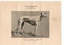 réf.2049/ image - année (?) vers 1900 - chien Lévrier Sloughi