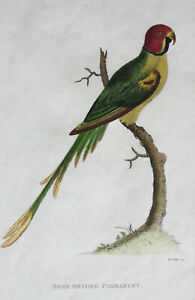 Rose Headed Parakeet Parrot Bird original 19th Century copper engraving