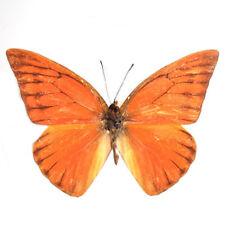 50 pcs wholesale umounted butterfly Pieridae Appias nero hainanensis ORANGE A1-