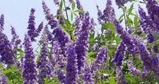 Shoal Creek Vitex Tree 3 Gal. Large Plant Trees Flowers Live Plants Landscaping