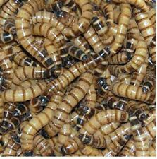 100 Large Live Superworms Live Arrival Guarantee