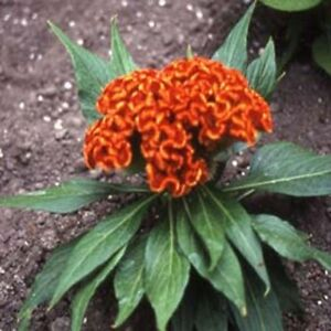 Cockscomb-(Celosia Cristata Nana)- Orange-  25 seeds
