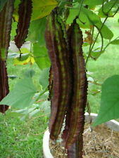 New 10 SEEDS  WINGED BEAN GOA BEAN PRINCESS BEAN HEIRLOM ORANIC