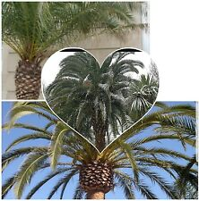 Phoenix Canariensis  Canary Island Date Palm, Hardy exotic palm tree! Seeds