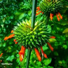 20 Graines  Leonotis nepetifolia , Klip dagga seeds
