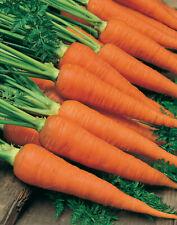 Carrot Danvers Seeds 1000+ Vegetable Garden NON-GMO USA SELLER FREE SHIPPING