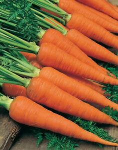 Danvers Carrot Seeds 1000+ Vegetable Garden NON-GMO USA SELLER FREE SHIPPING