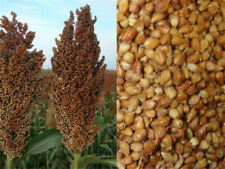 30 Pcs Natural Foxtail Millet Sorghum Seeds High Survival Healthy Food For Farm