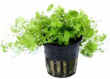 6 (six) x 5 cm Pots of Hydrocotyle tripartita - Hardy Aquatic Plant