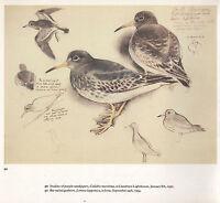 BEAUTIFUL VINTAGE BIRD PRINT ~ STUDIES OF PURPLE SANDPIPERS ~ TUNNICLIFFE
