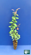 BERBERIS VULGARIS alv Planta Plant Plantones de frambueso barberry