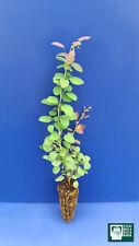 BERBERIS VULGARIS  alv Pianta Plant Crespino barberry
