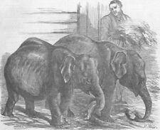 LONDON. The Oval. Pigmy elephants, Surrey zoo, antique print, 1854
