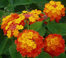 9 Semillas - LANTANA CAMARA - Bandera Española - Flores Jardín Garden Samen Semi
