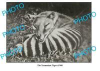 OLD 8x6 PHOTO FEATURING TASMANIAN TIGER LYING DOWN c1900