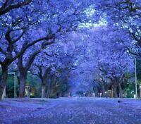 20pcs Tree Seeds Flower Blue Purple Jacaranda Mimosifolia Tree Shrub Seed in the