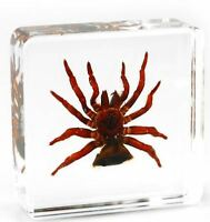 Real Coin Spider Arachnid Insect Paperweight Specimen Taxidermy - Large Block
