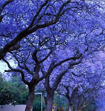 Blue Jacaranda Tree Seeds* Unique* Rare Beautiful Trees * Colorful