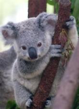 Koala Glossy Poster Picture Photo bear trees marsupial australia joey animal 816