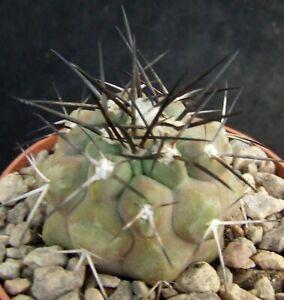 Copiapoa Marginata choice 4.2cm flowering size collectors Chilean cactus
