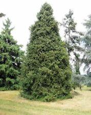 Schrenk's Spruce (Picea schrenkiana) 50 seeds