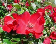 30 Japanese Red Rose Bush Rosa Rugosa Rubra Rugrose Fragrant Flower Seeds + Gift