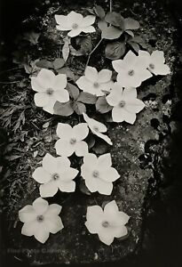 1938/72 Vintage ANSEL ADAMS Botanical Dogwood Flowers Yosemite Photo Art 11X14
