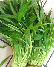 KANG KONG WATER SPINACH  - 60 seeds (HERITAGE)