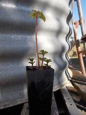 Basil Mint - Mentha x piperata citrata 'Basil', 1x perennial plant tube size