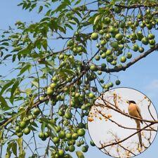 50 Seeds/Packet Azadirachta Indica Niembaum Niem Neem Margosa Seeds Tree Plants