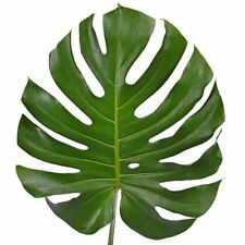 Swiss Cheese Plant Monstera Deliciosa Flowering Home Office Exotic Houseplant
