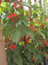 50 Scarlet Runner Pole Beans Vegetable Seeds Bean Seeds