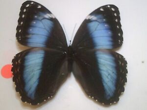 Dried Insect/Butterfly Non/set B7690 Rare Blue Female Morpho patroclus orestes