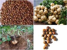 Jicama Pachyrhizus erosus Yam Bean Mexican Turnip Potato Beetroot 25 Fresh Seeds