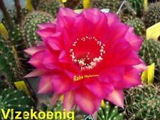 Vicekönig, Gr 23 cm, Echinopsis Hybride, Neuheit #120